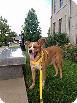 Corgi/Australian Cattle Dog Mix Dog for adoption in Russellville, Kentucky - Radar