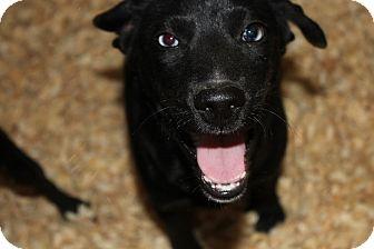 Labrador Retriever/Beagle Mix Dog for adoption in Harmony, Glocester, Rhode Island - Blue eyes