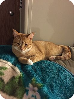 Domestic Shorthair Cat for adoption in Bay City, Michigan - Henry