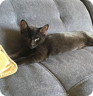 Domestic Shorthair Kitten for adoption in Plainville, Connecticut - Taylor