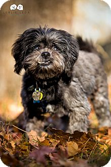 Shih Tzu/Terrier (Unknown Type, Small) Mix Dog for adoption in Astoria, New York - Rocky: adoption pending