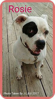 American Bulldog/Boxer Mix Dog for adoption in Bay City, Michigan - Rosie