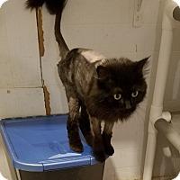 Adopt A Pet :: Kadin - Geneseo, IL