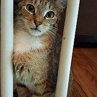 Adopt A Pet :: Moana - Oxford, CT