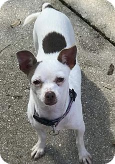 Chihuahua Dog for adoption in Venice, Florida - 29