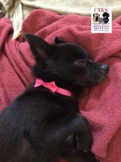 Schipperke/Pomeranian Mix Dog for adoption in Killeen, Texas - Jewel
