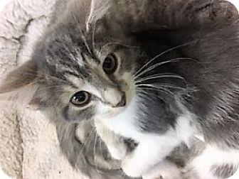 Domestic Shorthair Kitten for adoption in Medina, Ohio - Athena