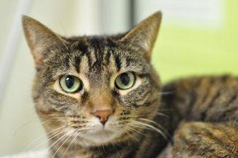 Domestic Shorthair/Domestic Shorthair Mix Cat for adoption in Oshkosh, Wisconsin - Dolly