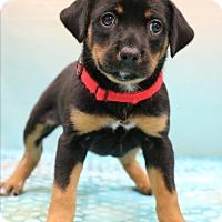Adopt A Pet :: Sasha - Hagerstown, MD