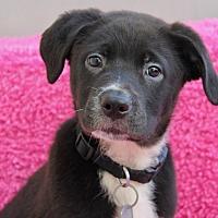 Adopt A Pet :: Tikka - Los Angeles, CA