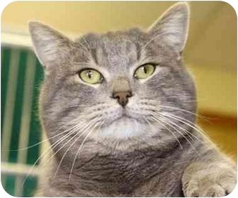 Domestic Shorthair Cat for adoption in Phoenix, Oregon - Big Bob