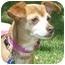 Photo 2 - Chihuahua/Dachshund Mix Dog for adoption in Carrollton, Texas - Amber