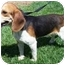 Photo 2 - Beagle Dog for adoption in Indianapolis, Indiana - Captain