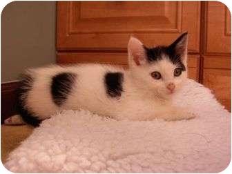 Domestic Mediumhair Kitten for adoption in Reston, Virginia - Spinks