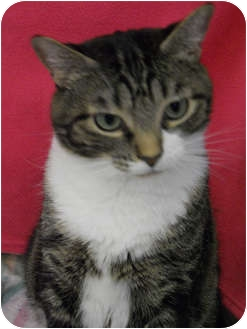 Domestic Shorthair Cat for adoption in Hayden, Idaho - Abby