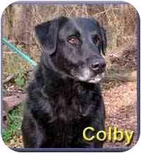 Labrador Retriever Mix Dog for adoption in Aldie, Virginia - Colby