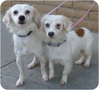 Spaniel (Unknown Type)/Dachshund Mix Dog for adoption in Los Angeles, California - Vogue and Fancy