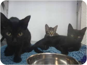 American Shorthair Kitten for adoption in Winter Haven, Florida - Camden, Katie & Kit Kat