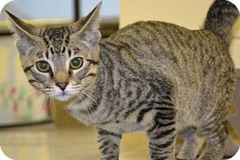 Domestic Shorthair Kitten for adoption in Elyria, Ohio - Maxwell