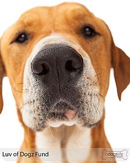 Labrador Retriever/Golden Retriever Mix Dog for adoption in Scottsdale, Arizona - Cubby