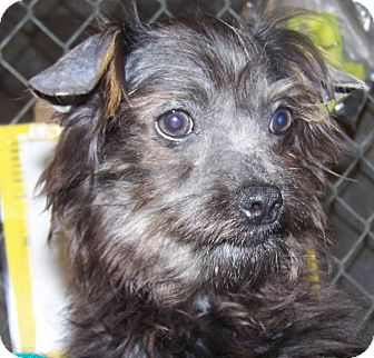 Xoloitzcuintle/Mexican Hairless/Shih Tzu Mix Puppy for adoption in Grants Pass, Oregon - Lil Sister