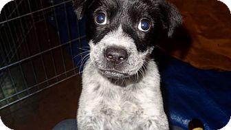 Retriever (Unknown Type)/Blue Heeler Mix Puppy for adoption in Chilliwack, British Columbia - JACKSON