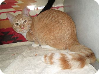 Domestic Shorthair Cat for adoption in Pueblo West, Colorado - Timon