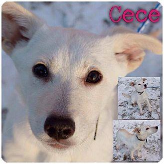 Golden Retriever/Husky Mix Puppy for adoption in Garden City, Michigan - Cece