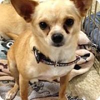 Chihuahua Mix Dog for adoption in Mesa, Arizona - Leon