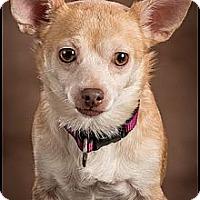 Adopt A Pet :: Bella - Owensboro, KY