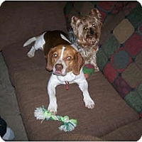 Adopt A Pet :: Barney - Indianapolis, IN
