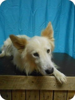 Collie/Shepherd (Unknown Type) Mix Dog for adoption in East Hartford, Connecticut - Leroy meet me 8/15