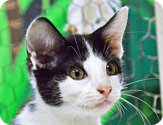 Domestic Shorthair Cat for adoption in Searcy, Arkansas - Fizz