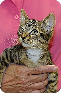 Domestic Shorthair Cat for adoption in League City, Texas - SEGOVIA