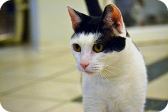 Domestic Shorthair Cat for adoption in Broadway, New Jersey - Indiana Jones