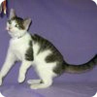 Domestic Shorthair Cat for adoption in Powell, Ohio - Carter