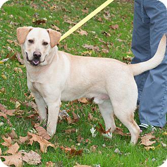 Labrador Retriever Mix Dog for adoption in New Martinsville, West Virginia - Austen