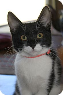 Domestic Shorthair Kitten for adoption in Chattanooga, Tennessee - Lexi
