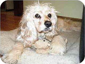 Cocker Spaniel Dog for adoption in Kirkland, Quebec - Sweetie