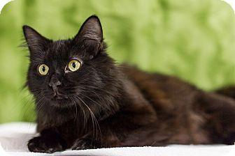 Domestic Longhair Cat for adoption in Houston, Texas - Harlem