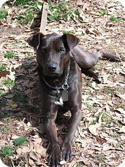 Labrador Retriever/Chesapeake Bay Retriever Mix Dog for adoption in Decatur, Georgia - Hershell (Guest)