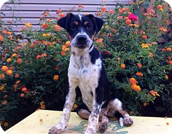 Cattle Dog/Pointer Mix Puppy for adoption in Greensboro, Georgia - Puddle