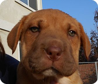 Labrador Retriever/Shar Pei Mix Puppy for adoption in Oakley, California - Baby Reese