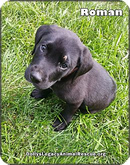 Labrador Retriever Puppy for adoption in Lincoln, Nebraska - ROMAN