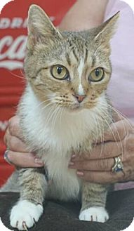 Domestic Shorthair Cat for adoption in Reston, Virginia - Cindy