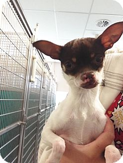 Chihuahua Mix Dog for adoption in Idaho Falls, Idaho - Moose