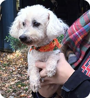 Bichon Frise Mix Dog for adoption in Stamford, Connecticut - Ned - look at his face!