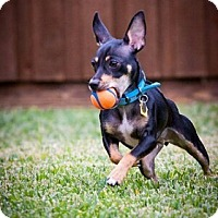 Adopt A Pet :: Gabby - Puppy - Dallas, TX