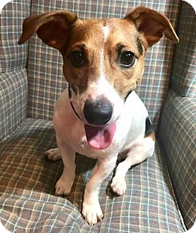 Jack Russell Terrier Puppy for adoption in Cleveland, Ohio - Moon Pie