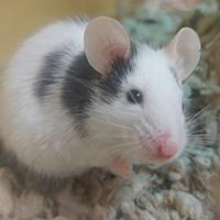 Adopt A Pet :: Martin - Benbrook, TX